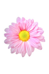 pink cosmos flower isolated on white