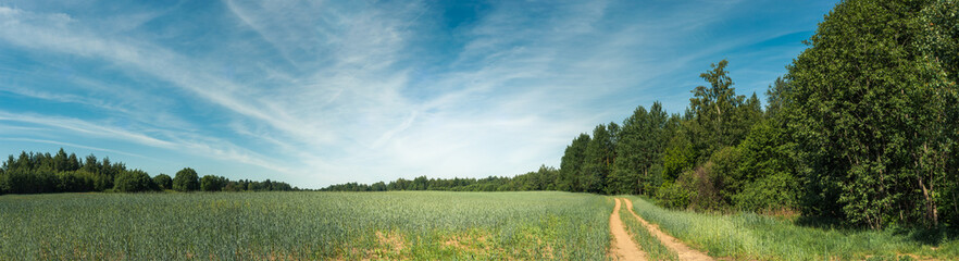 Summer agricultural landscape. Panoramic view of the grain field under the blue sky with light cloudiness.