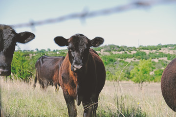 Wall Mural - Cute Black Angus calf on cattle farm, shows cow in background.