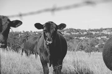 Wall Mural - Black Angus calf on cow farm looking at camera through fence.