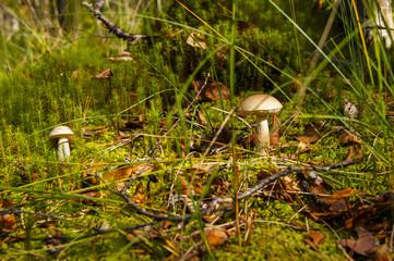 Two mushroom brown cap boletus in forest