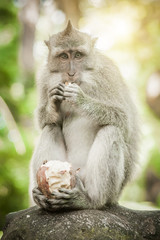 Beautiful view of a macaque monkey eating some food
