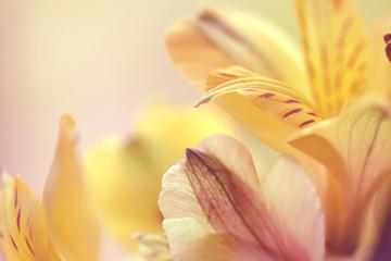 beautiful flowers alstroemeria macro