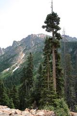 Alpine Evergreens