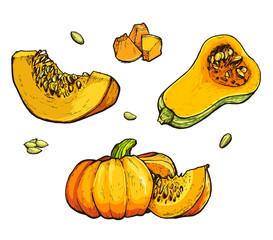 Colorful pumpkin vector drawing set. Farm market product.