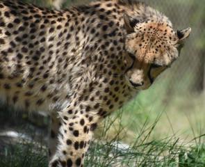 Cheetah With a Beautiful Sleek Coat Looking Over His Shoulder