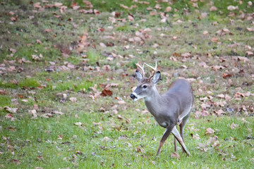 White-tailed Buck Gets Crossed Up