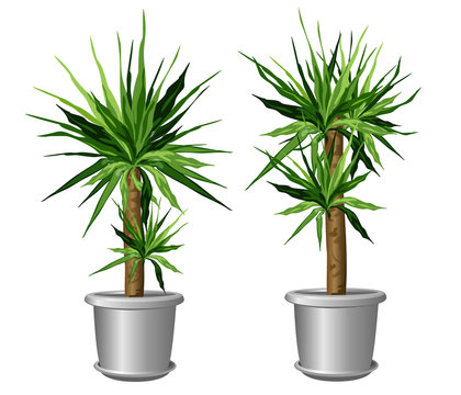Two yucca plants in pots (Yucca aloifolia, aloe yucca, dagger plant). Vector illustrations isolated on white background for interior design.