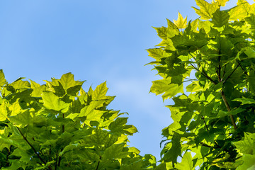 Sugar maple tree leaves backlit by the sun