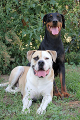 american bulldog and doberman