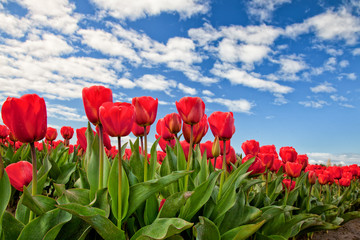 Red tulips blooming in Mount Vernon, Washington