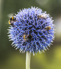 Bumble Bees and Bees on Echinops or Globe Thistle. Green Blurry Background.