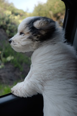Yorkipoo dog looking out of a car window
