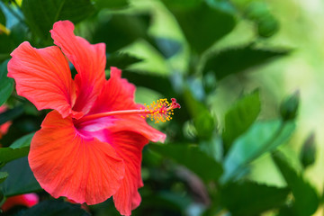 Red hibiscus with pollen on pistil with green garden background