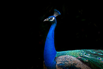 Peacock profile isolated on black background