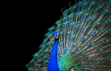 Fotobehang Pauw Peacock isolated on black background