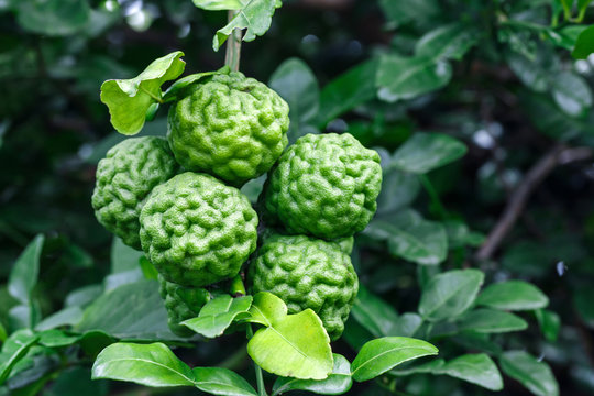 bergamot fruit or Kaffir lime hanging on tree