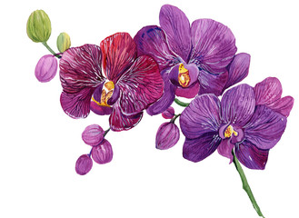 Purple Orchid branch. Watercolor hand painting. Isolated flower on white background