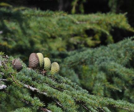 Pine cones on Atlantic / Blue Atlas cedar tree (Cedrus atlantica)