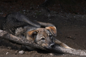 Sled Dog Relaxing