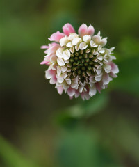 Isolated macro of a pink and white clover flower on a green background