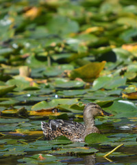 Common brown duck floating in a green and yellow  lily pond
