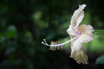 Close up of Beautiful white hibiscus