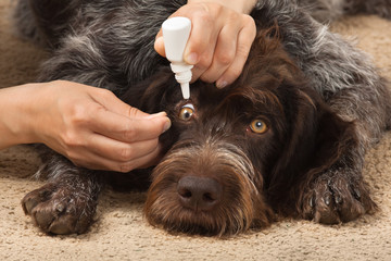 hands drip medicine in the dog's eyes
