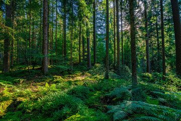 In the green Black Forest / Schwarzwald in Germany on a sunny day