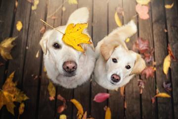 Zwei Hunde sitzen zwischen bunten Blättern im Herbst