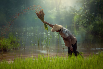 Thailand Farmer working in rice field this is a culture of rural in Asia