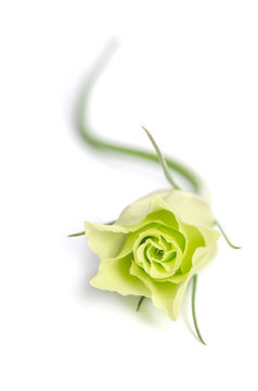single green rose (Eustoma flower) isolated on white background