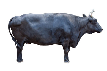 black color bull isolated on white