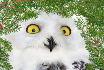 Fotoväggar - polar owl in green fir branches frame