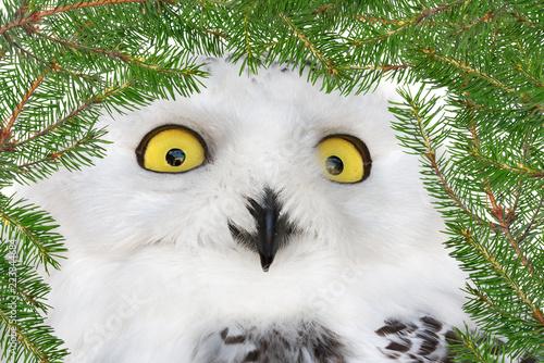 polar owl in green fir branches frame\
