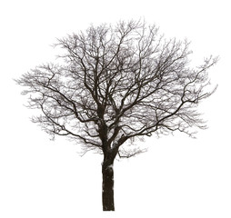 isolated bare oak in light snow