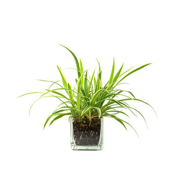 Spider plant,Closeup of succulents plants in pot isolated on white.