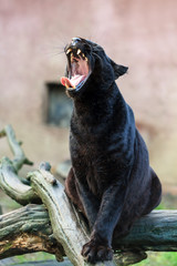 Yawning black panther (African leopard (Panthera pardus pardus)) in captivity