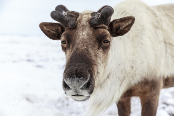 The reindeer looks into the camera, close-up