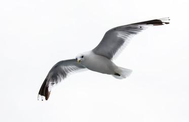 sea gull on white background Wall mural