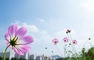 Beautiful cosmos flowers background.