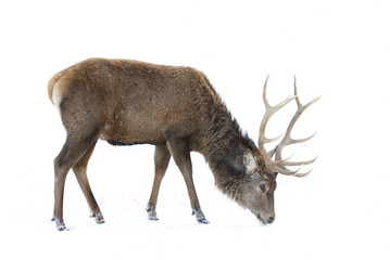 Poster Deer Red deer isolated on white background feeding in the winter snow in Canada