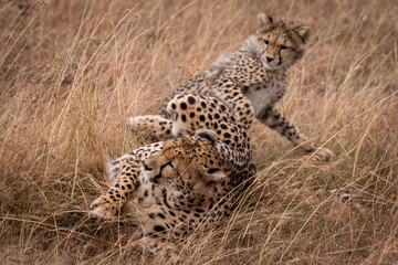 Cheetah and cub in grass play fighting