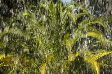 palms and rain in tropical  hurricane cyclone storm
