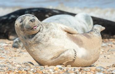 happy seal pup on a stony beach