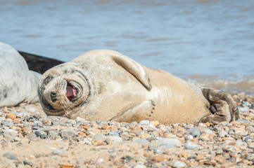 joyful seal on a stony beach