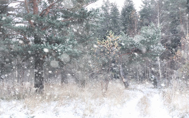 Winter forest. Landscape of winter forest on a sunny day. Snow-c