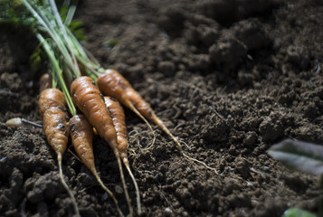 Fresh carrot at soil background, farmer style photo