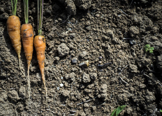 Fresh carrot at soil background, farmer style photo