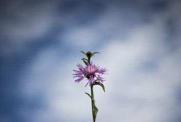 Purple cornflower isolated at blue sky with clouds background